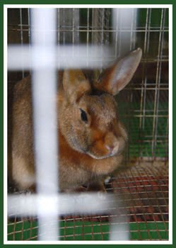 4-H rabbit