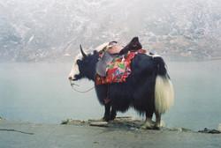 Domestic Yak in Nepal