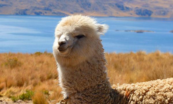 alpaca_page.jpg