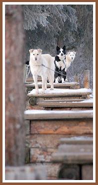 Denali Mushing Dogs