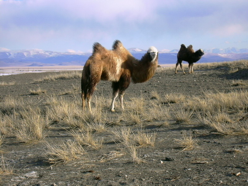 Bactrian Camels in Russia