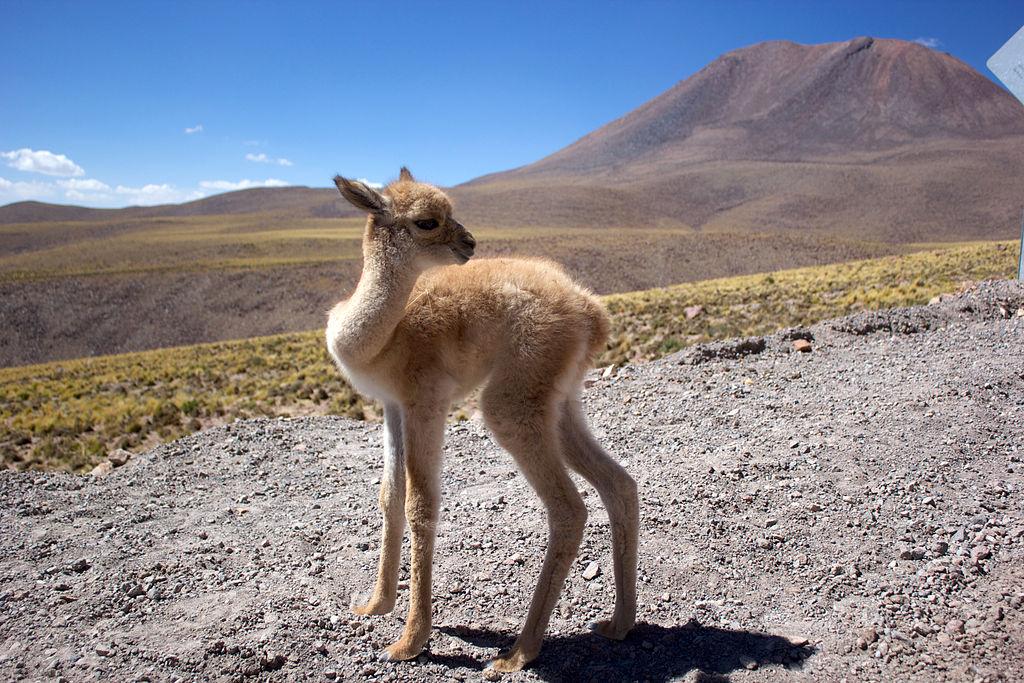 Vicuña fawn in Chile