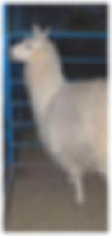 4-H Llama
