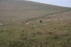 A Llama guarding sheep in W. Sussex