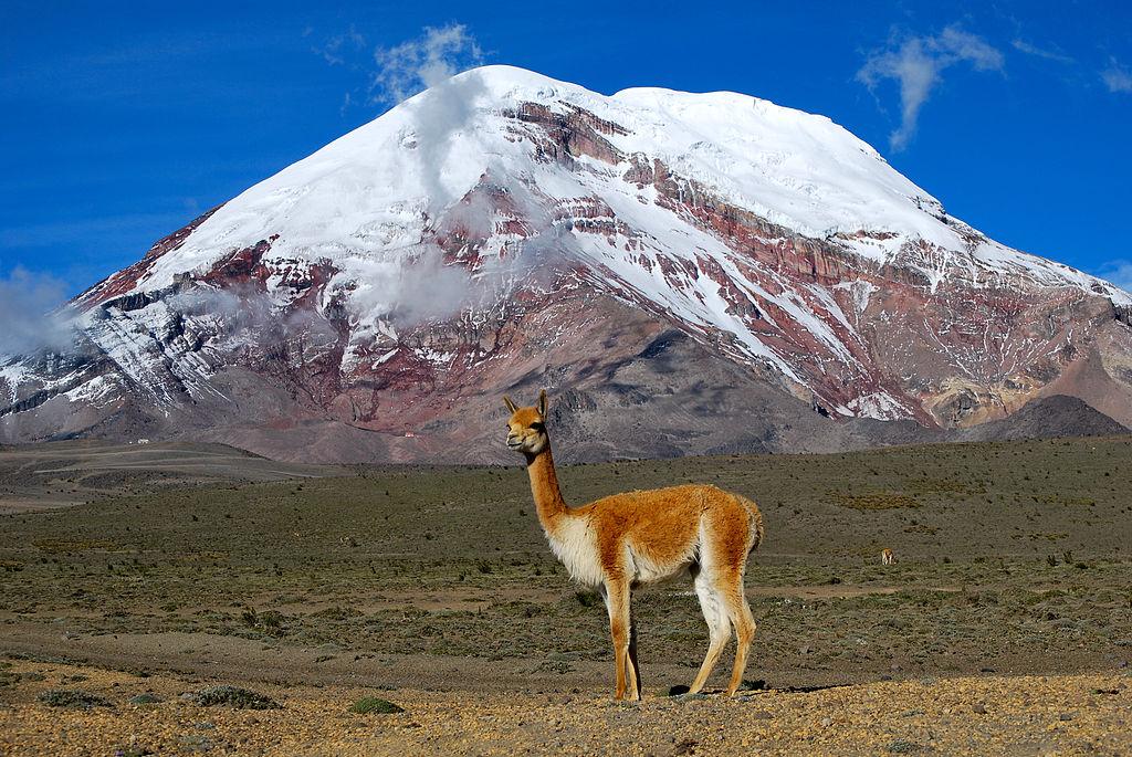 Vicuña in Chimborazo, Ecuador