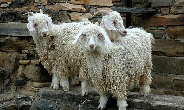 angora_goat_page.jpg