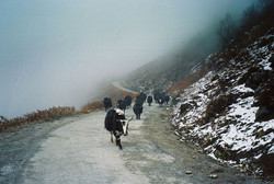 Domestic Yaks in the Himalayas