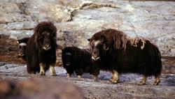 Muskoxen in Greenland
