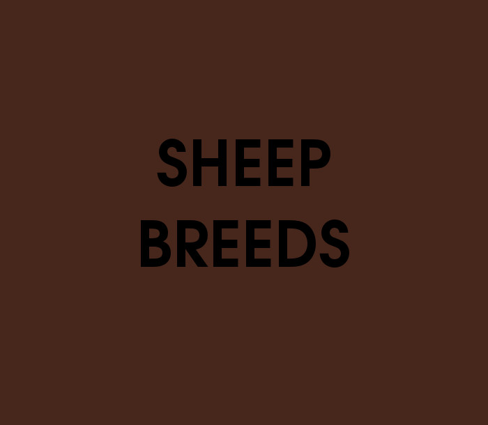 Sheep Breeds Quiz