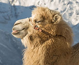 Bactrian Camel Cow