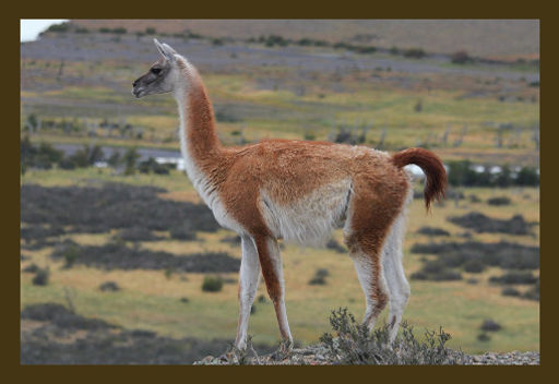 natural fiber producing animal