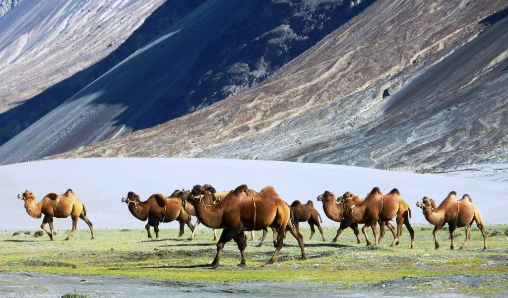 Camels in Nubra Valley, India