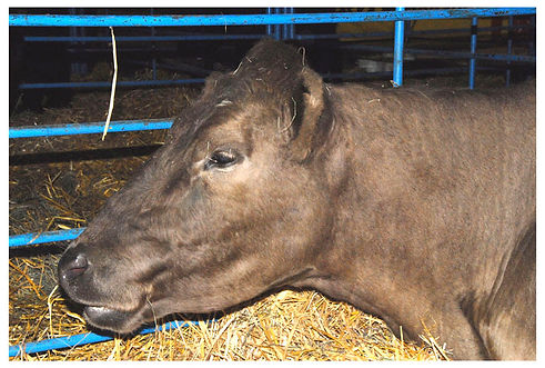 4-H cow