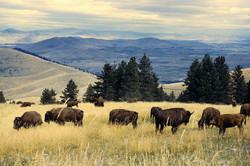 Bison Herd in Montana