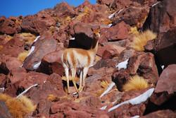 Vicuña in South America