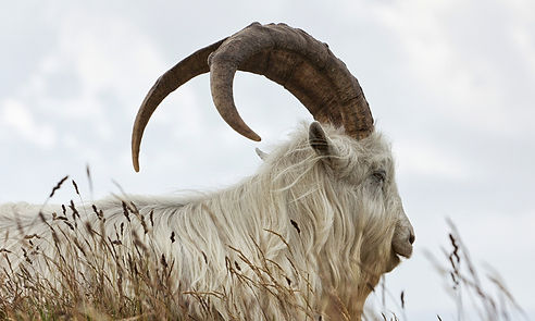 white animal with brown horns