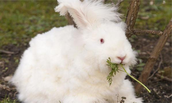 angora_rabbit_page.jpg