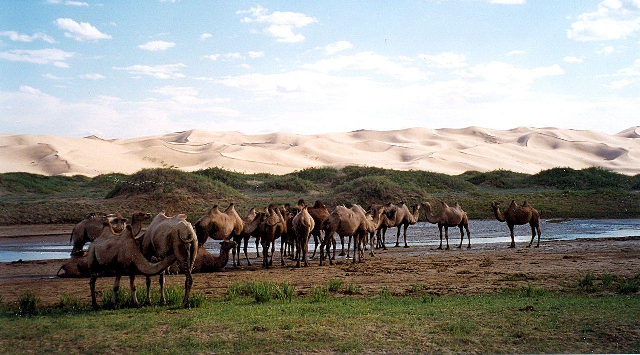 Herd of Mongolian Camels