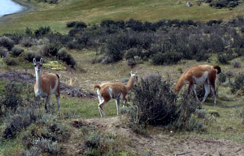 Guanacos in Torres del Paine, Chile