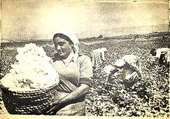 Armenian women harvesting cotton