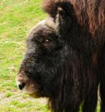 Musk Ox Bull