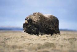Alaskan Muskox