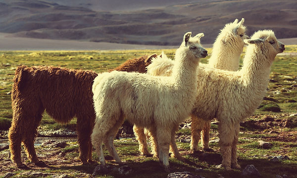 llama_page.jpg