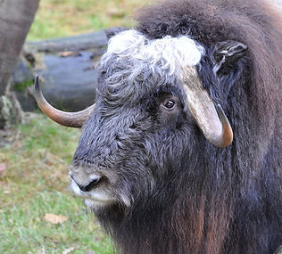 Musk ox close up