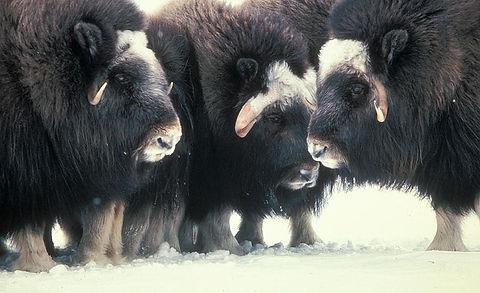 three muskoxen