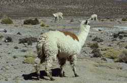 Huacaya Alpaca in Arequipa, Peru