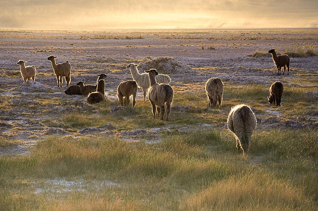 Llamas in San Pedro de Atacama