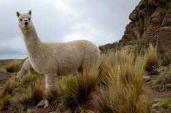 Pair of Huacaya Alpacas