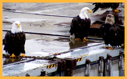bald eagles on a dock