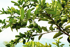 Lime tree.png