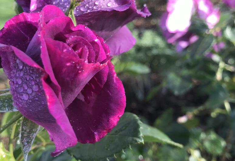 Purple roses in the garden