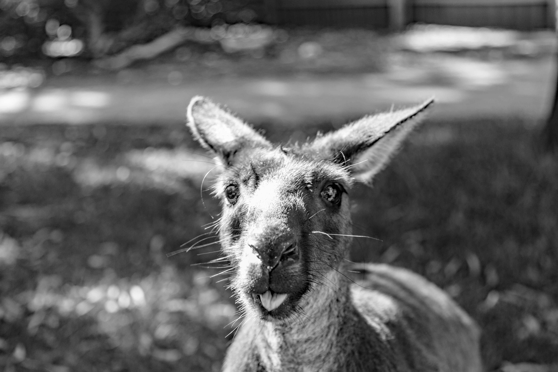 #43 Happy kangoo
