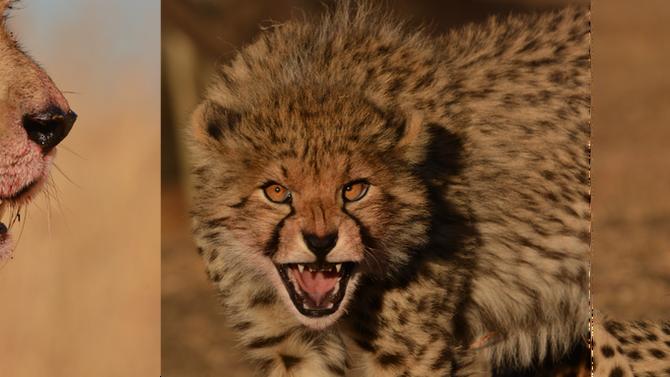 Cheetah Extinction - Cracking The Code.