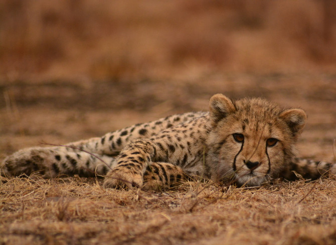 Cheetah Population crash - Human Error!
