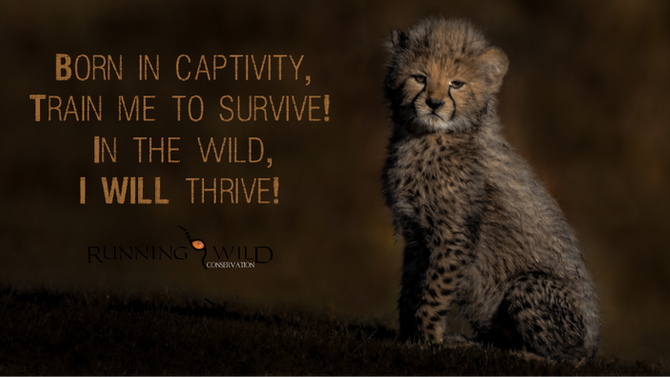 Rewilding Cheetah, it can save the specie!