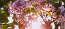 Lilacs - N. Spina