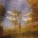 Dragonfly - B.McBride