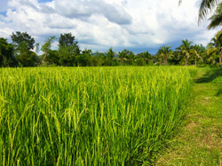 Organic rice paddy fields