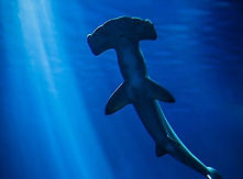 tiburon martillo.jpg