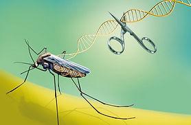 gene drive malaria 2.jpg