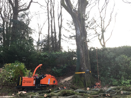 Oak tree removal by the team