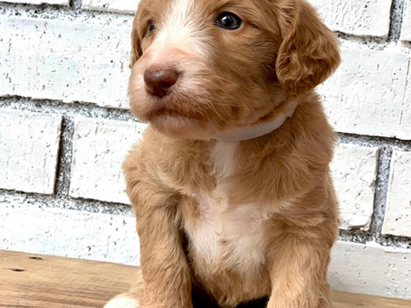 35-45 pound labradoodle puppies coming soon!!