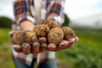farmer-hands-holding-potatoes-at-farm-PY