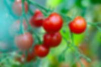 cherry-tomatoes-growth-Y6JNQV9.jpg