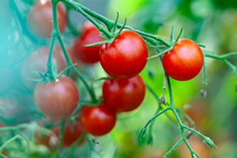 cherry-tomatoes-growth-Y6JNQV9.jpg