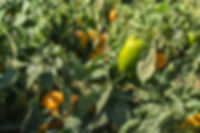 tractor-with-trailer-picking-peppers-PX8
